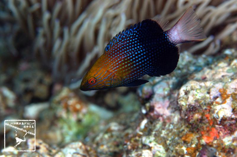 沖縄本島のダイビングで撮影したヒレグロベラ幼魚の水中写真